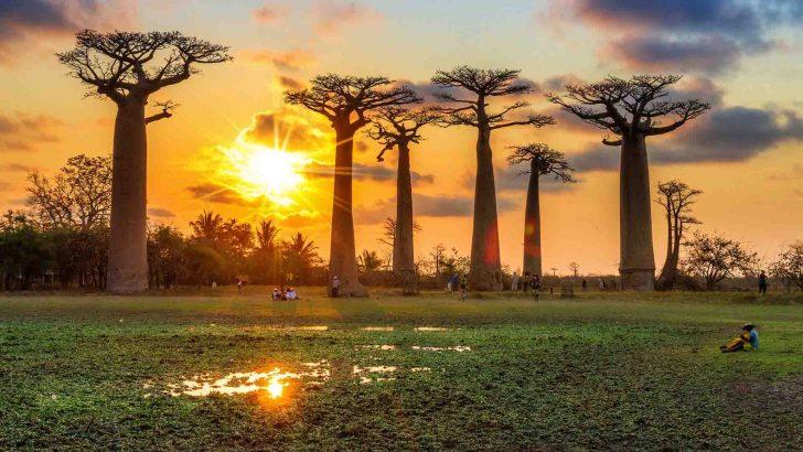 grands baobabs